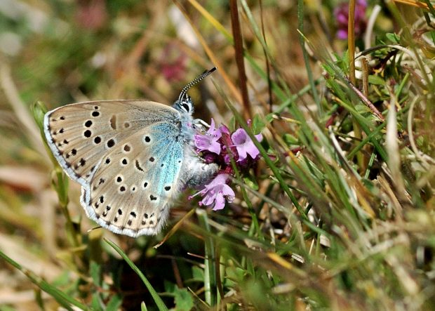 Female large blue Hampshire butterfly